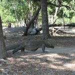 Paket Tour Komodo Waerebo 5 Hari